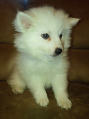 American Eskimo Dog Puppy For Sale in VALLEY SPRINGS, CA