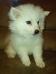 Puppy 3 American Eskimo Dog