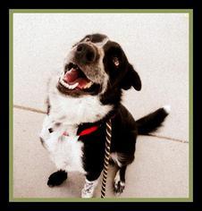 Eddy - Border Collie / Australian Shepherd / Mixed Dog For Adoption