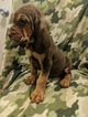 Puppy 6 Bloodhound