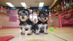 Yorkshire Terrier Dog For Adoption in LOS ANGELES, CA, USA