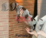 Small #16 German Shorthaired Pointer