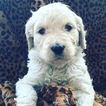Goldendoodle Puppy For Sale in CLIMAX, MI, USA