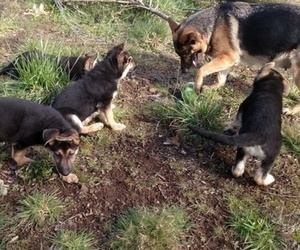 German Shepherd Dog Puppy for Sale in SHERIDAN, Oregon USA