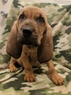 Puppy 0 Bloodhound