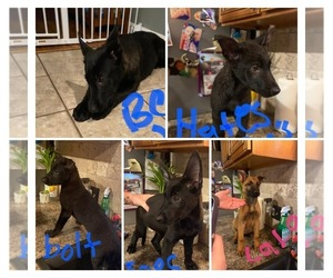 Belgian Malinois Puppy for sale in CONIMICUT, RI, USA