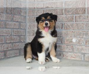 Australian Shepherd Puppy for sale in CARMEL, IN, USA