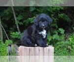Puppy 4 Bernedoodle
