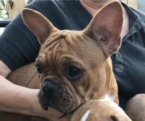 Mother of the French Bulldog puppies born on 09/19/2020