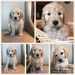 Goldendoodle Puppy For Sale in PROVIDENCE, UT, USA
