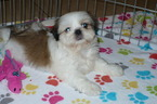 Shih Tzu Puppy For Sale in TUCSON, AZ, USA