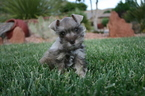 AKC TOY Liver Tan Phantom Schnauzer Male