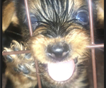 Small #5 Yorkshire Terrier