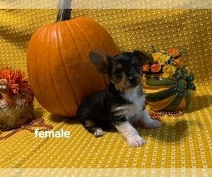 Yorkie Russell Puppy for sale in DEARBORN, MI, USA