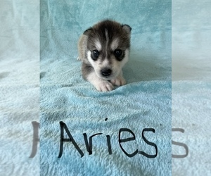 Siberian Husky Puppy for sale in POQUOSON, VA, USA