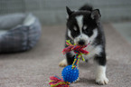 Pomsky Puppy For Sale in KENT, OH, USA