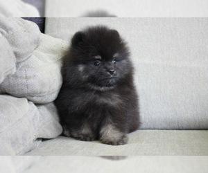 Pomeranian Puppy for sale in SEATTLE, WA, USA