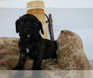Cane Corso Puppy for sale in ST MARYS, IN, USA