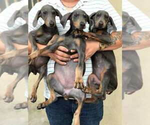 Doberman Pinscher Puppy for sale in N LAS VEGAS, NV, USA