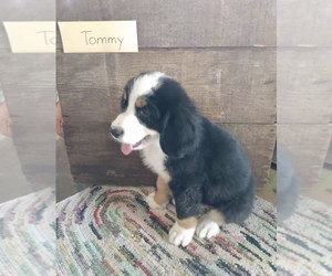 Bernese Mountain Dog Puppy for sale in GRABILL, IN, USA