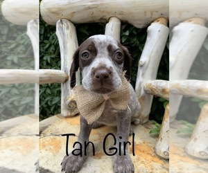 Wirehaired Pointing Griffon Puppy for sale in BONNIE, UT, USA