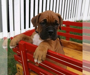 Boxer Puppy for sale in DENVER, PA, USA