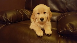 Golden Retriever Puppy For Sale in BATTLE GROUND, WA