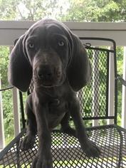 Weimaraner Puppy For Sale in LEWISTOWN, IL, USA