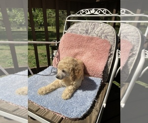 Goldendoodle-Poodle (Standard) Mix Puppy for sale in BELTON, SC, USA