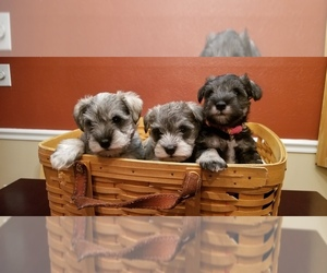 Schnauzer (Miniature) Puppy for sale in SOMERVILLE, OH, USA