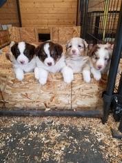 Australian Shepherd Puppy For Sale in ONTARIO, OR, USA