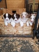Beautiful registered Australian Shepherd puppies