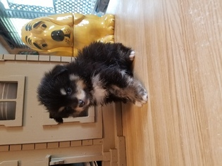Poshies Puppy for sale in TWINSBURG, OH, USA