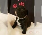 Small Photo #4 French Bulldog Puppy For Sale in CAPE CORAL, FL, USA