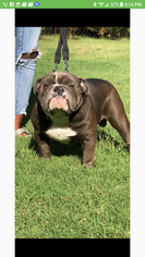Father of the Bulldog puppies born on 12/09/2018