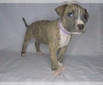 Puppy 6 American Pit Bull Terrier-American Staffordshire Terrier Mix
