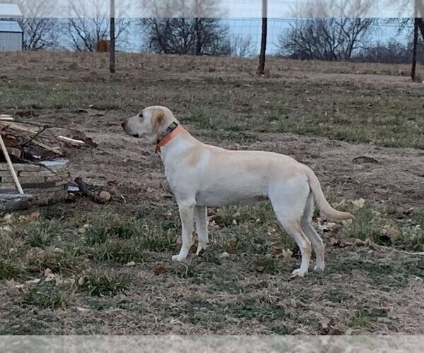 Medium Photo #1 Labrador Retriever Puppy For Sale in CARTHAGE, MO, USA