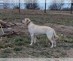 Small Photo #1 Labrador Retriever Puppy For Sale in CARTHAGE, MO, USA