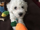 Bichon Frise Puppy For Sale in ALPHARETTA, GA, USA