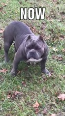 Puppyfinder com: American Bully puppies puppies for sale and