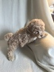 Maltipoo Puppy For Sale in JEFFERSONVILLE, IN, USA