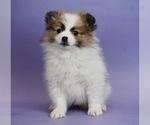 Puppy 13 Pomeranian