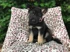 German Shepherd Dog Puppy For Sale in PEACH BOTTOM, PA, USA