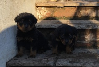 Rottweiler Puppy For Sale in SAINT LOUIS, MO