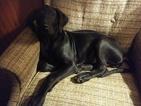 Great Dane Puppy For Sale in HOWARD CITY, MI