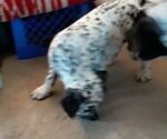 Small #3 American Bulldog-Bullmatian Mix