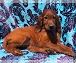 Cleo the Irish Setter