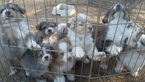 Australian Shepherd Puppy For Sale in AMADO, AZ