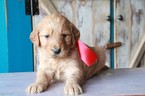 Goldendoodle Puppy For Sale in HUDSON, North Carolina,