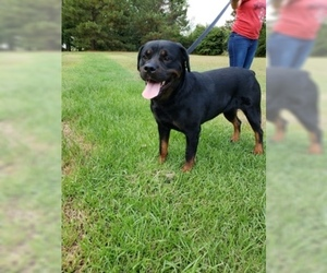 Mother of the Rottweiler puppies born on 12/12/2019